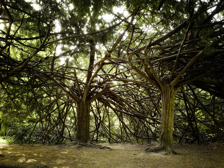 interlaced: Two strange trees with interlaced branchs in outdoors park