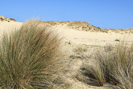 Natural grass and plants on the sand dunes of the Westhoek Dunes, La Panne, Belgium.