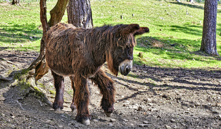 Donkey from Poitou standing near a tree in Forest Stock Photo