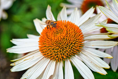 Summer flowers, Bee on a Coneflower White