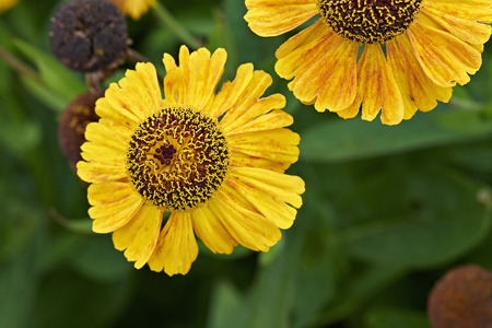 Summer flowers, yellow Coreopsis tinctoria in close-up