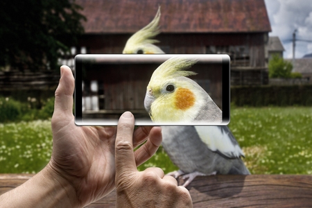 Two hands holding a mobile Smartphone and take a picture closeup of a nymphicus hollandicus cockatiel, outdoors Lizenzfreie Bilder