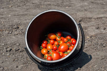 unwashed: harvest in the garden Stock Photo