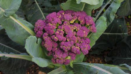Vegetable flower Stok Fotoğraf