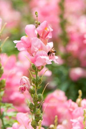 common snapdragon: Antirrhinum majus and bee Stock Photo