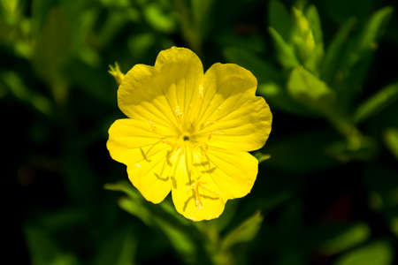 Yellow Oenothera odorata Stock Photo