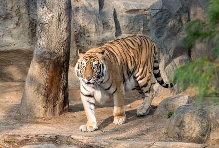 tigresa: Tigre siberiano (Panthera tigris altaica)  Foto de archivo