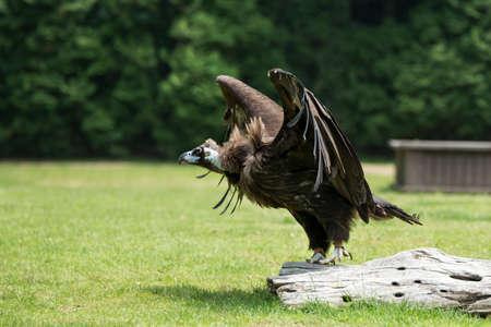 raptorial: condor Stock Photo