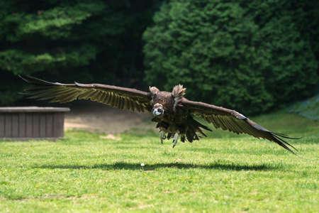 destructive: condor Stock Photo