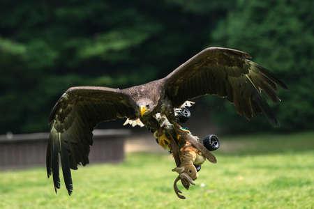 Golden Eagle in flight hunting training