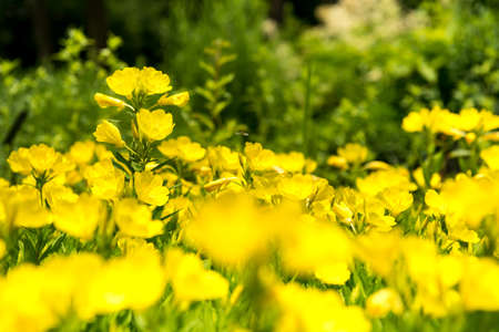oenothera biennis: Yellow Oenothera odorata Stock Photo