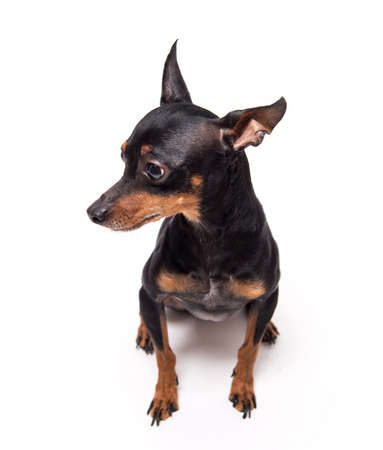 miniature-pinscher sitting against white background Stock Photo