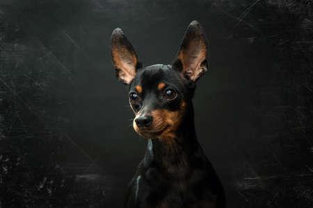 Miniature Pinscher Portrait on an Antique Black Background