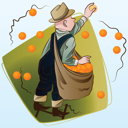Vector stock illustration. Harvesting. A man collects oranges. Illustration