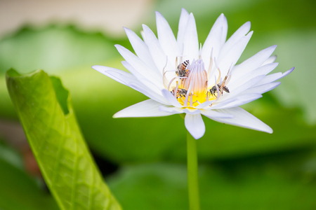 Bee on a lotus. photo