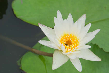 Over water with a white lotus bloom.