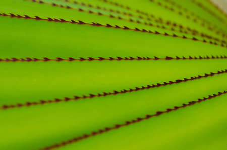 edges: Sharp spiny red edges on bright green aloe leave