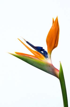 bloom bird of paradise: Strelitzia flower isolated on white background