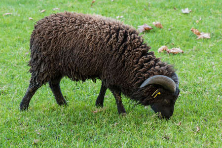 cut grass: Cut black Ouessant sheep isolated on green grass