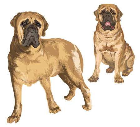 Two images of mastiff in different poses on isolated background Illustration