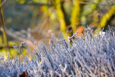 Close up of frozen plant on a winter morning in frost and sunlight of a garden, winter season