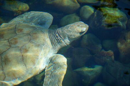 Close up of albino sea turtle. White sea turtle swimming in clear water.