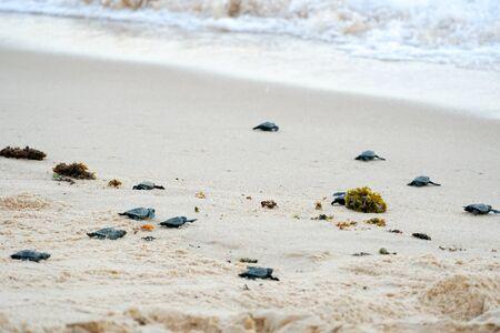 Les bébés tortues font leurs premiers pas vers l'océan. Praia Do Forte, Bahia, Brésil. Little Sea Turtle Cub, rampe le long du rivage de sable en direction de l'océan pour survivre, éclos, nouvelle vie.
