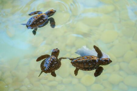 Baby sea turtles hatching swimming and catching food underwater clear sea water.