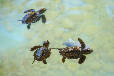 Des bébés tortues de mer éclosent en nageant et en attrapant de la nourriture sous l'eau de mer claire. Banque d'images