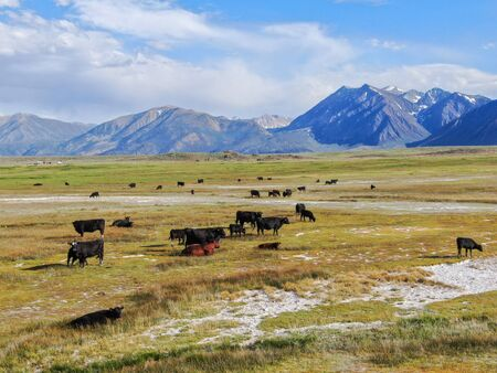 Aerial view of herd of cows in green meadow with mountain on the background. Cows cattle grazing on a mountain pasture next the Lake Crowley, Eastern Sierra, Mono County, California, USA.