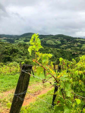 Close up of vineyards in the mountain during cloudy raining season. Grapevines in the green hills. Vineyards for making wine grown in the valleys on rainy days and fog blowing through.