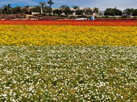 Aerial view of Carlsbad Flower Fields. tourist can enjoy hillsides of colorful Giant Ranunculus flowers during the annual bloom that runs March through mid May. Carlsbad, California, USA Stock Photo