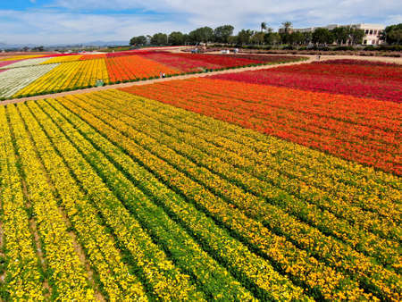 Aerial view of Carlsbad Flower Fields. tourist can enjoy hillsides of colorful Giant Ranunculus flowers during the annual bloom that runs March through mid May. Carlsbad, California, USA