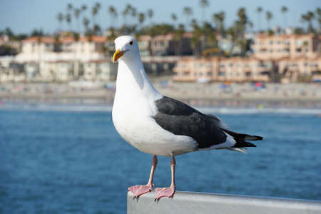 Close up of seagull standing on a pier with sea and coastline on the background. Seagull waiting on the Oceanside Pier. In North San Diego, California, USA.