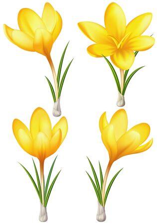 primrose: Vector illustration - set of yellow crocuses  EPS 10, RGB  Created with a gradient mesh  Illustration