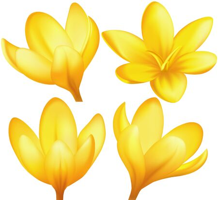 illustration - set of yellow crocuses. Created with a gradient mesh. Illustration