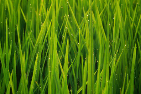rice plant: Drop of water on rice plant.