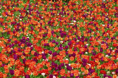 seasonable: A colorful natural carpet of red and purple tulips