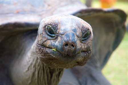 centenarian: A close up of a tortoise looking straight to the camera. Stock Photo