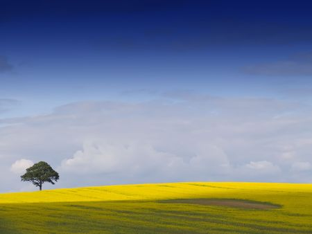 Looking over a rural English landscape of yellow rapeseed, to a tree on the horizon, beneath a dramatic blue sky with fluffy white clouds. An ideal desktop wallpaper or background.