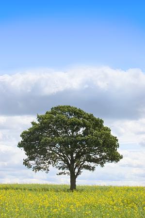 rapeseed: Summer landscape - single tree beneath a blue sky in a field of rapeseed