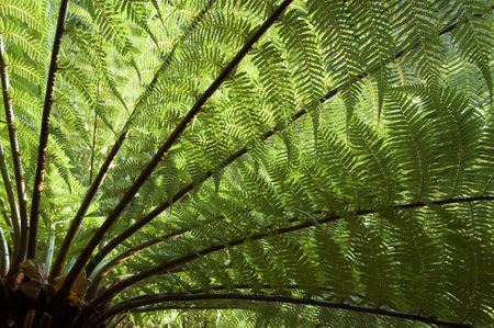 Large Tree Fern shot from under the tree and into the light, the leaves or fronds backlit by the sun