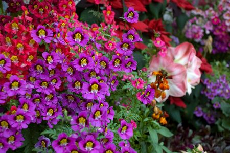 Colourful floral display of dwarf Schizanthus