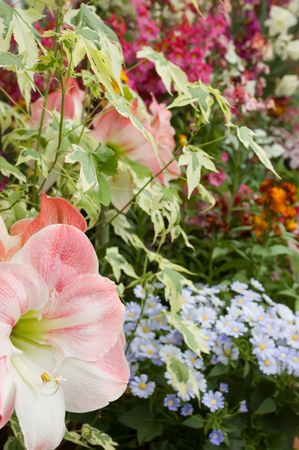Colourful display of mixed flowers including amaryllis and blue brachycome daisies