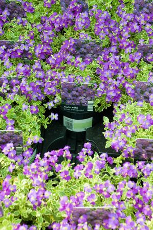 Purple aubrieta plants in pots for sale at a flower market stall