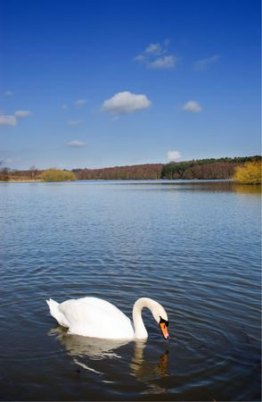 Ripples in the water around a single swan dipping for food on a deep blue lake Stock Photo