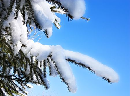 Snow on the branches of a pine tree against a clear blue sky
