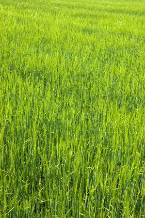 Lush green field of long grass