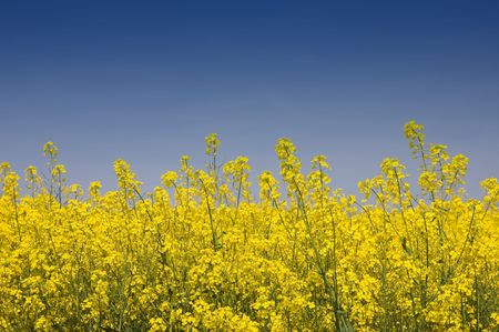 Close-up view of golden yellow rapeseed against a blue sky Stock Photo