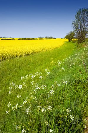 Rural english landscape of golden yellow rapeseed and cow parsley in a green field on farmland Stock Photo